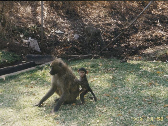 堤田和久さんがアフリカで撮影したヒヒの親子の写真
