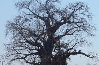 バオバブの木の写真